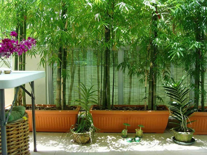 planter-des-bambous-en-pots-jardinières-avec-bambous