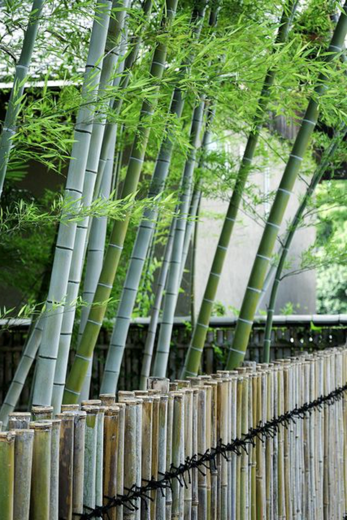 planter-des-bambous-grandes-tiges-de-bambous-vivants-près-de-la-cloison-bambou