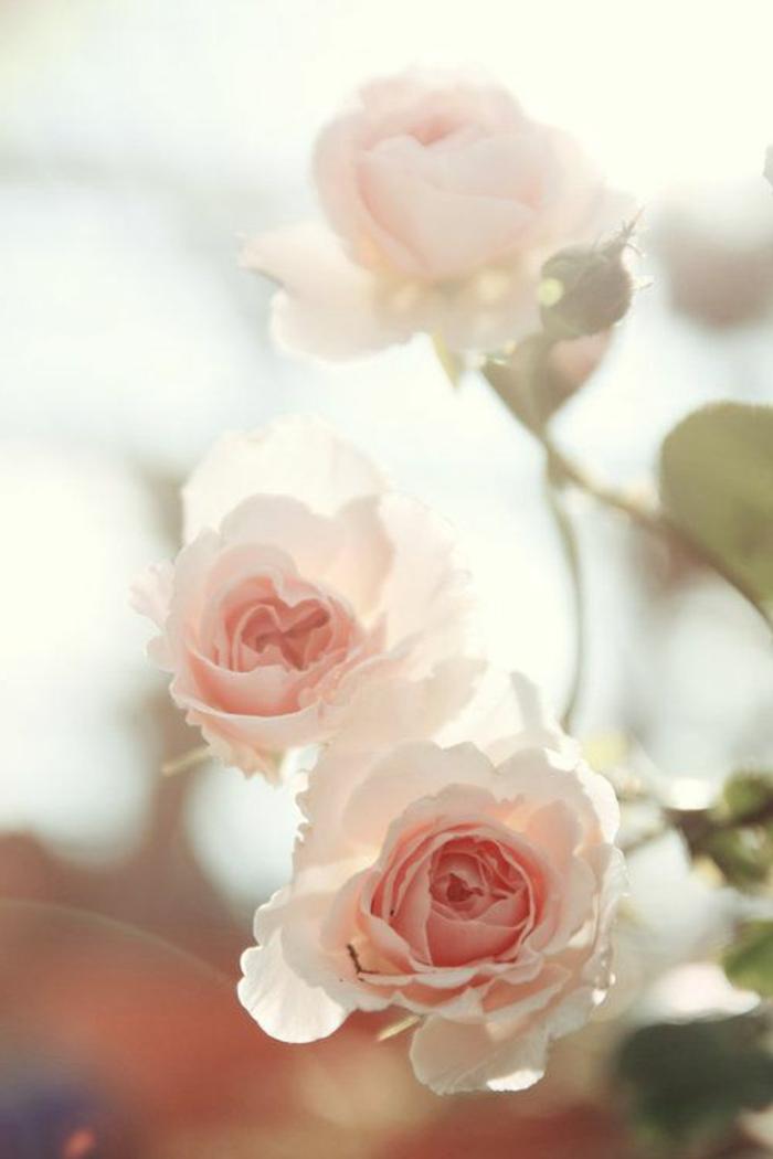 rose-signification-de-la-rose-de-couleur-rose-signification-des-roses-bouquet-de-fleurs