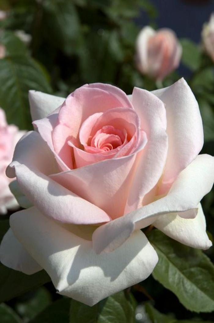 rose-signification-de-la-rose-de-couleur-rose-signification-des-roses