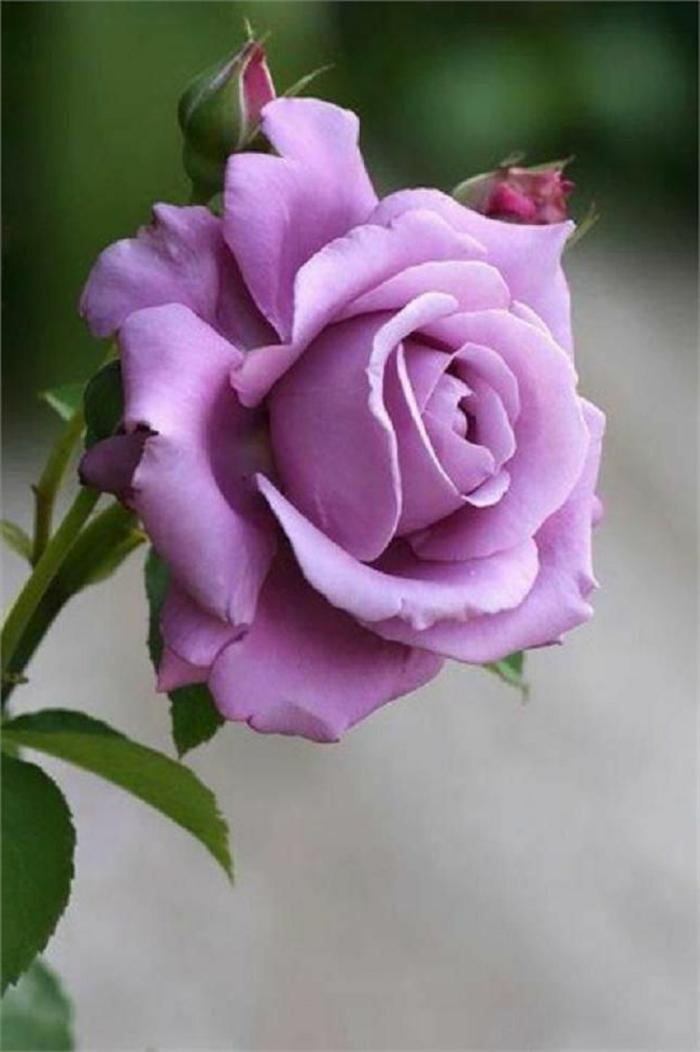 La signification des roses quelle couleur de roses offrir - Couleur rose violet ...