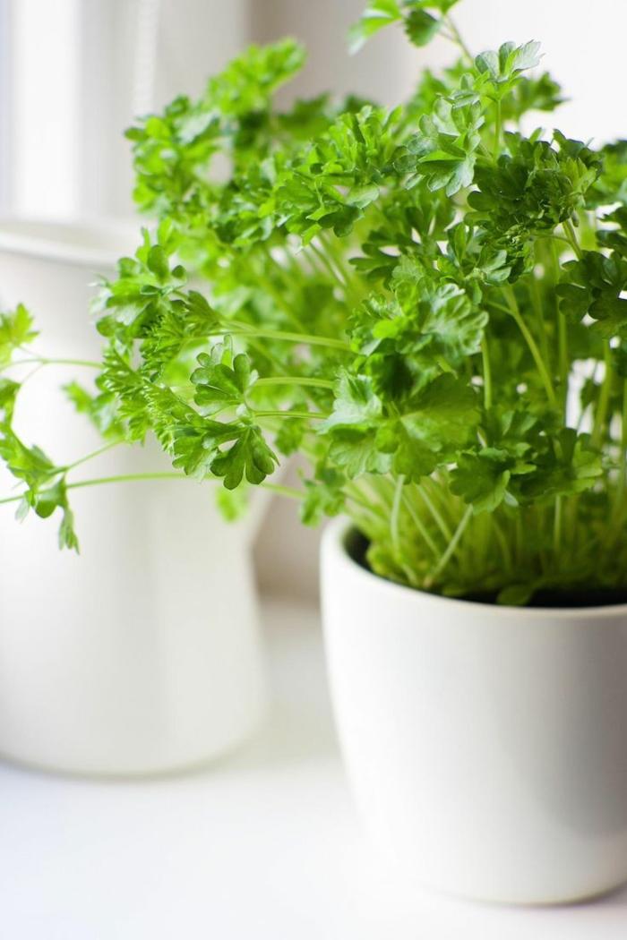 planter-du-basilic-jardin-intérieur-organization-salon-décoration-basile-menthe