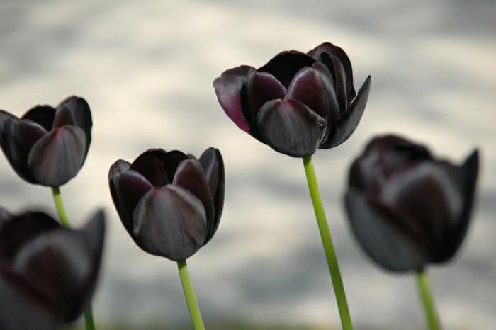 belle-nature-tulipes-noires-fantastiques-photo-tulipe-beauté