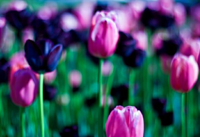 belle-nature-tulipes-noires-fantastiques-photo-tulipe-dans-le-jardin
