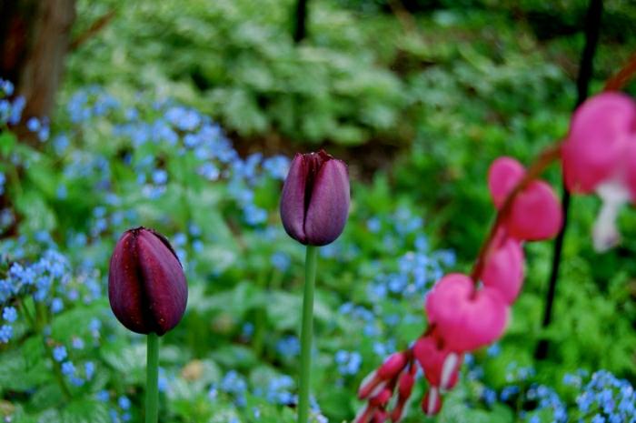 belle-nature-tulipes-noires-fantastiques-photo-tulipe-jardin-fleurie