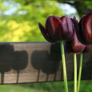 La tulipe noire - 40 belles images