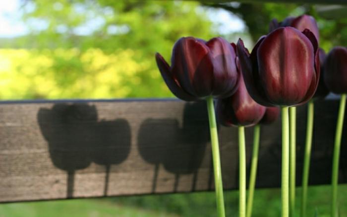 belle-nature-tulipes-noires-fantastiques-photo-tulipe-nature
