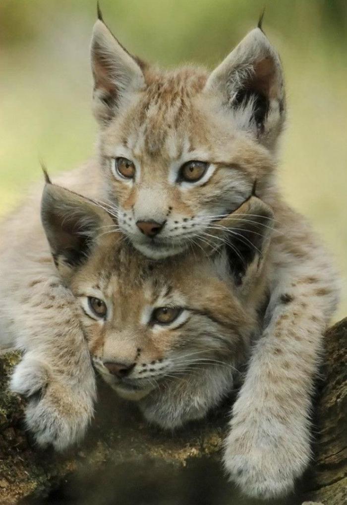 chats-sauvages-beaux-chats-qui-jouent-ensemble