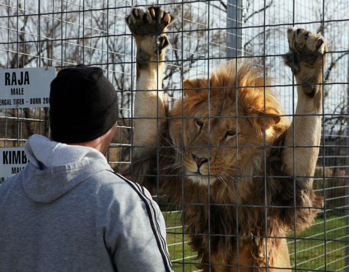 chats-sauvages-amitié-entre-l'homme-et-le-lion