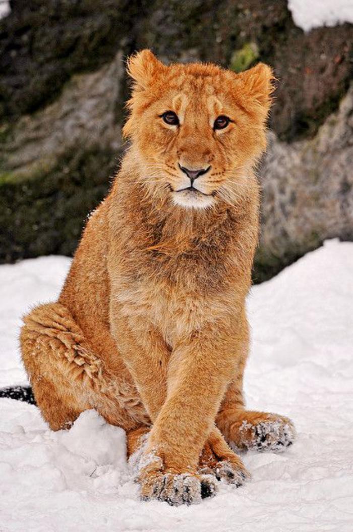 chats-sauvages-beau-chat-dans-la-neige