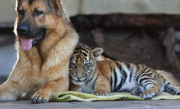 chats-sauvages-l'amitié-entre-un-tigre-et-son-chien