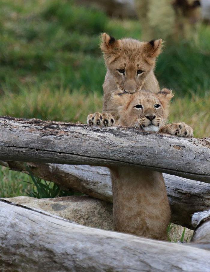 chats-sauvages-deux-petits-frères