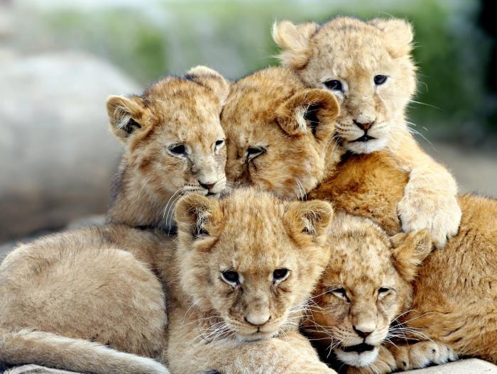 chats-sauvages-frères-et-soeurs-lionceaux