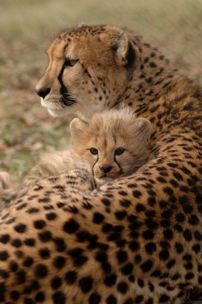 chats-sauvages-guépards-en-accolade-chaleureuse