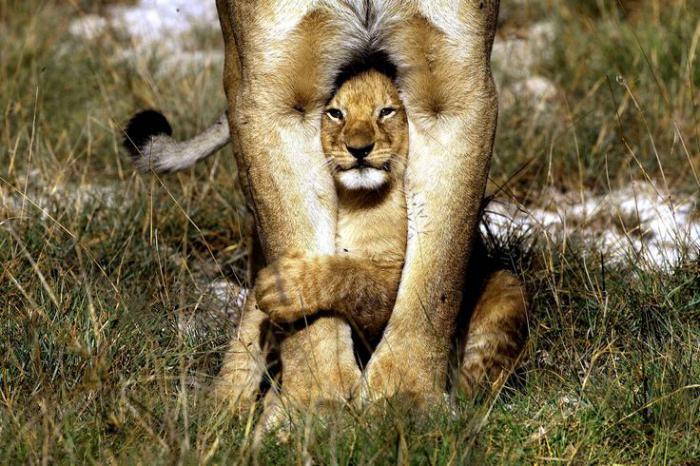 chats-sauvages-je-me-cache-derrière-maman