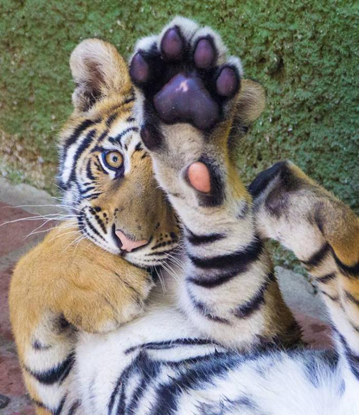 chats-sauvages-joli-tigre-qui-ne-veut-pas-se-faire-photographier
