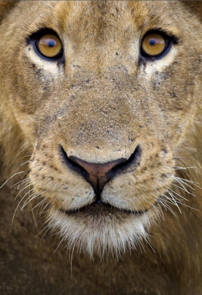 chats-sauvages-l'air-typique-d'un-lion