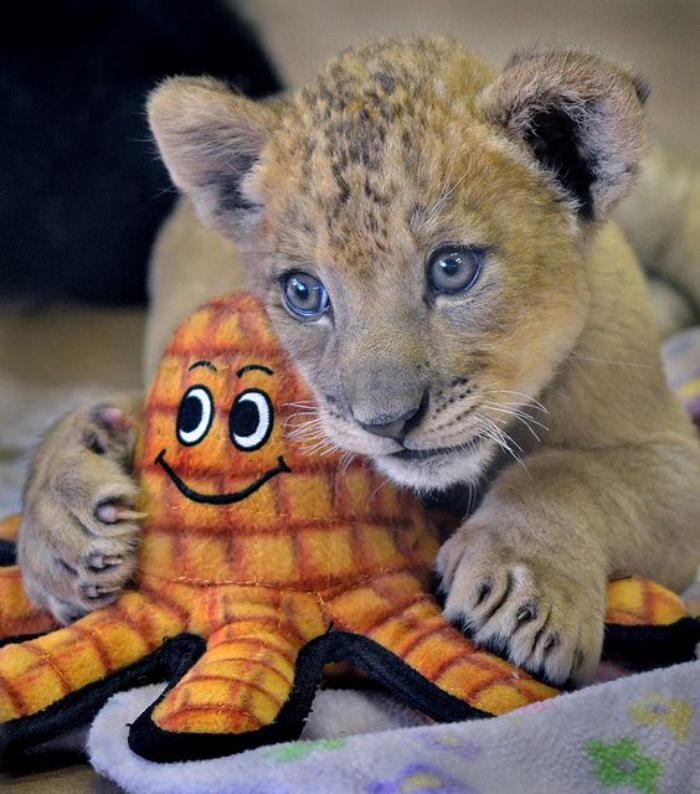 chats-sauvages-le-petit-lionceau-et-son-jouet-octopode