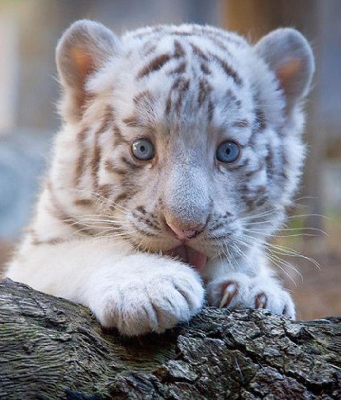 chats-sauvages-le-petit-tigre-blanc