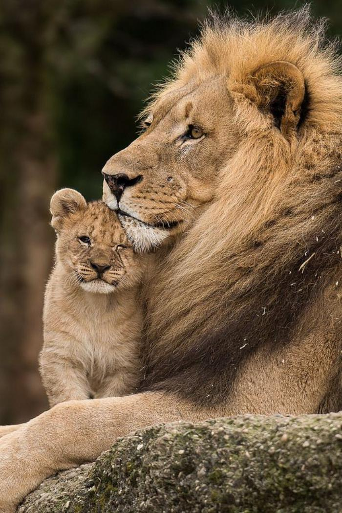 chats-sauvages-lion-et-lionceau