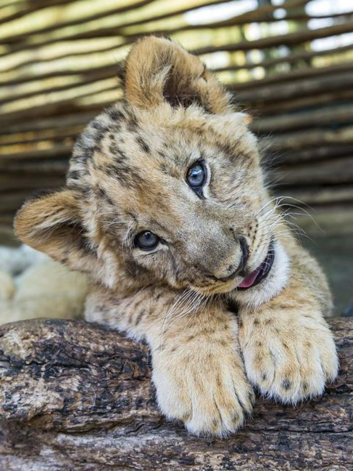 chats-sauvages-lionceau-super-sympa