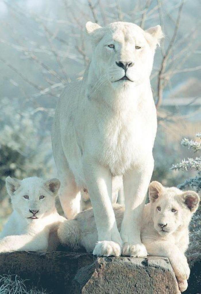 chats-sauvages-lionnesse-blanche-avec-ses-deux-lions