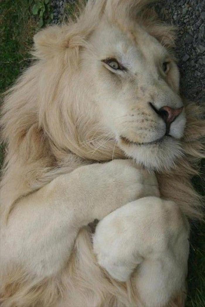 chats-sauvages-lion-blanc-paisible-et-content