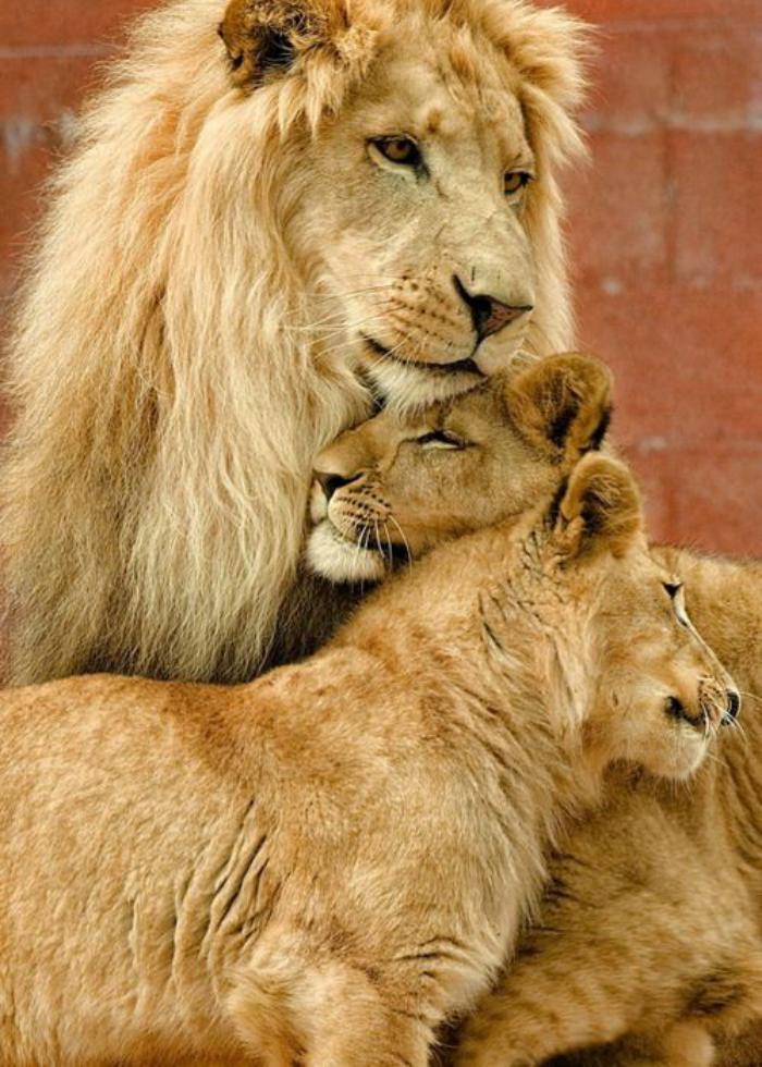 chats-sauvages-lions-sympathiques