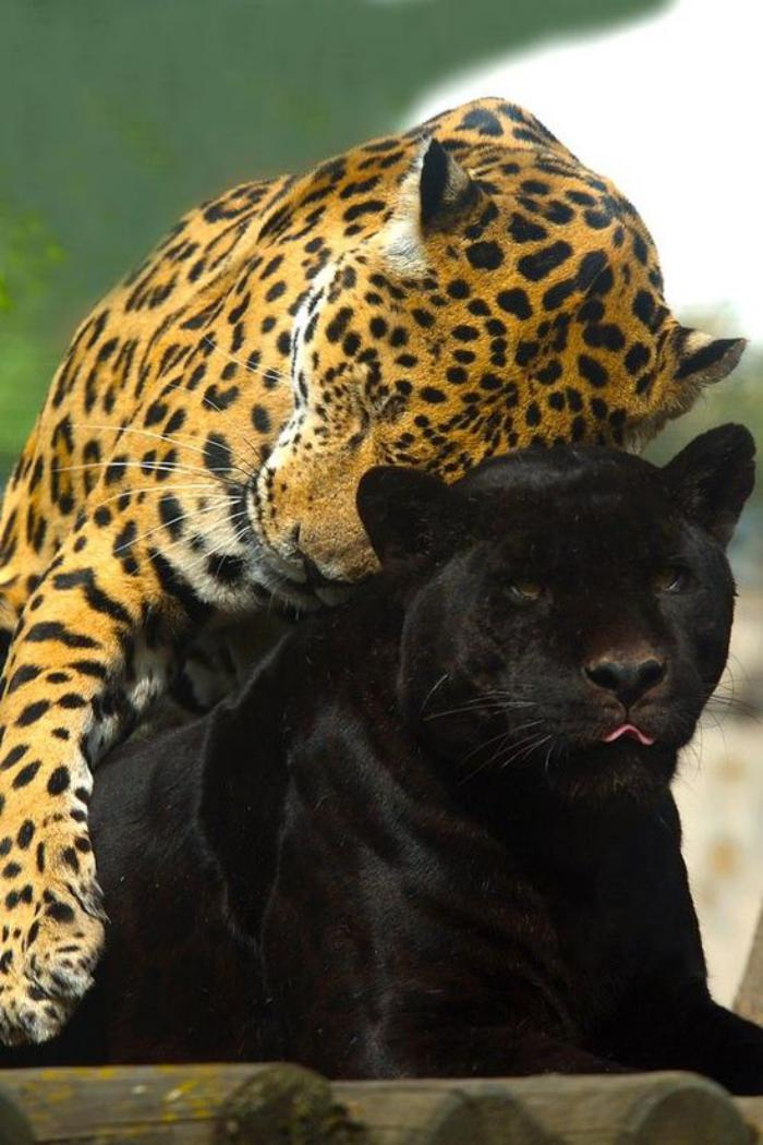 chats-sauvages-pantère-et-léopars