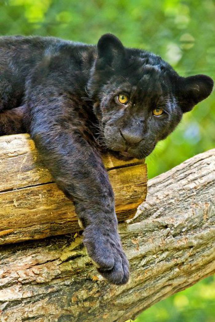 chats-sauvages-pantère-qui-se-repose