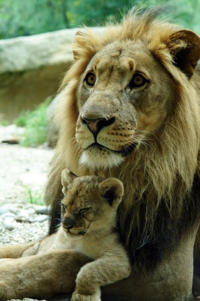 chats-sauvages-papa-avec-son-lionceau