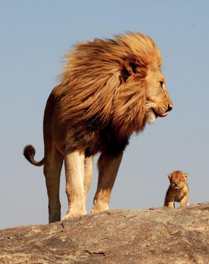 chats-sauvages-papa-lion-avec-le-petit-lionceau