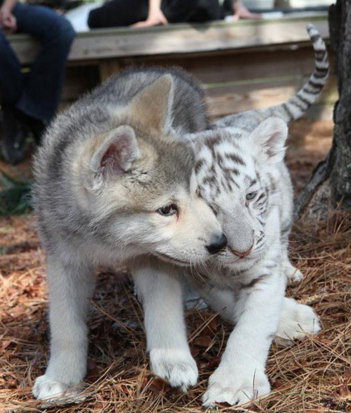 chats-sauvages-petit-tigre-et-petit-loup