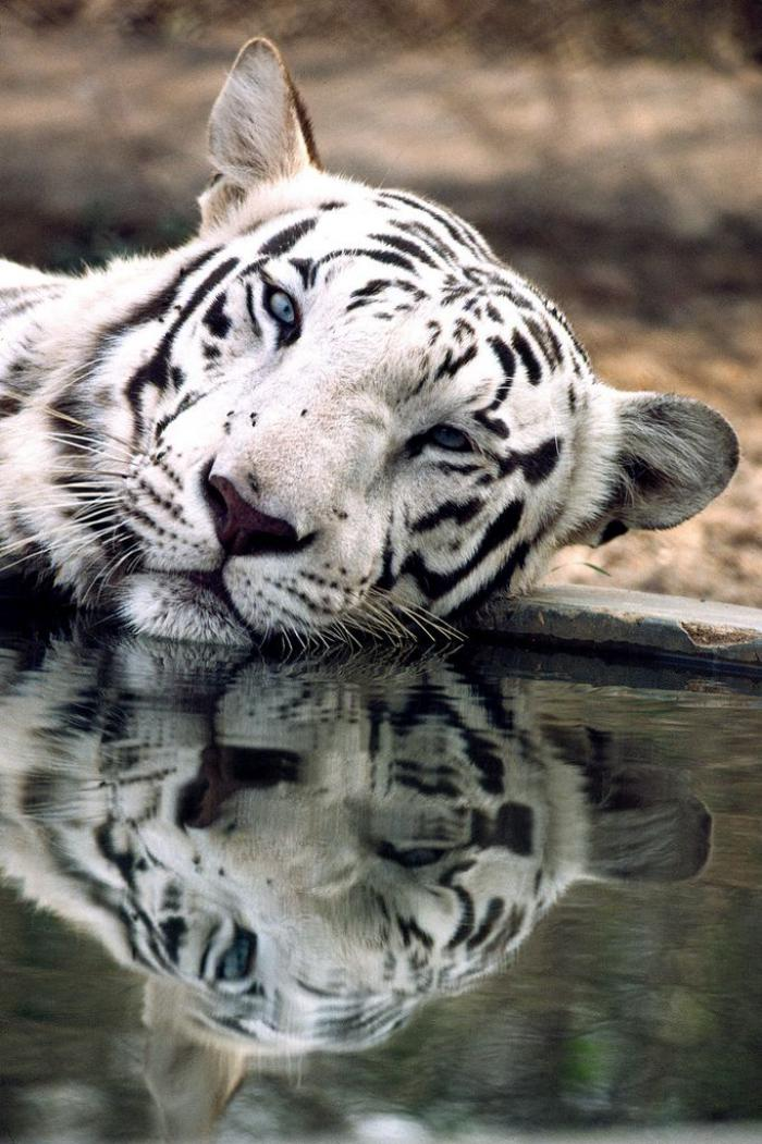 chats-sauvages-tigre-blanc-qui-se-repose