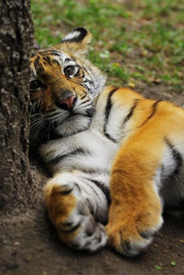 chats-sauvages-tigre-ennuyé-appuyé-à-un-arbre
