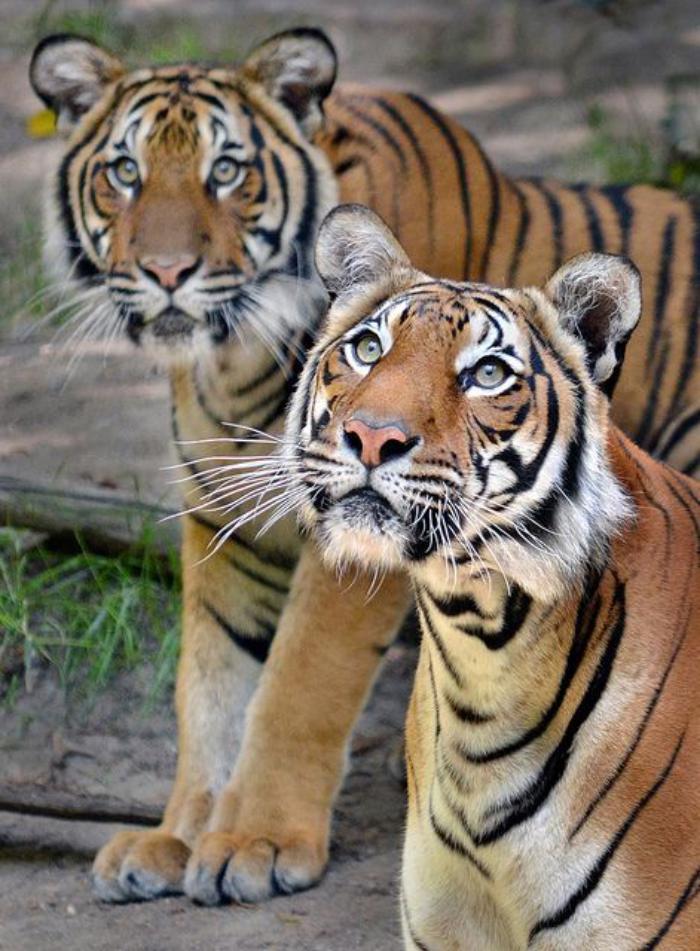 chats-sauvages-tigres-qui-se-promènent