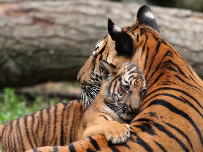 chats-sauvages-tigresse-et-son-petit