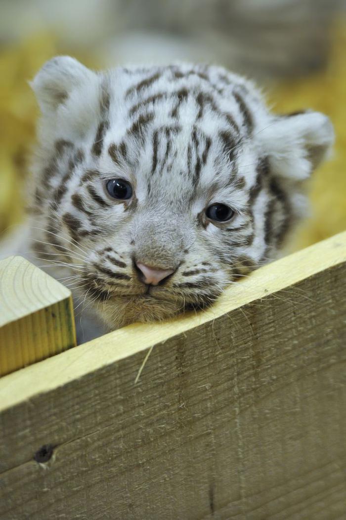 chats-sauvages-un-bébé-tigre-blanc