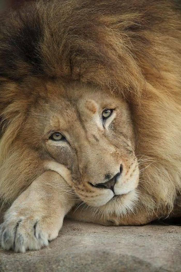 chats-sauvages-un-lion-pensif-le-repos-des-grands