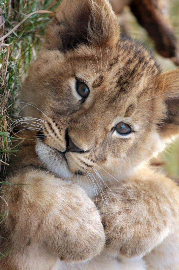 chats-sauvages-un-lion-teenage-aimable