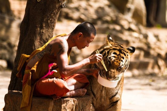 chats-sauvages-un-moine-qui-nourrit-un-grand-tigre