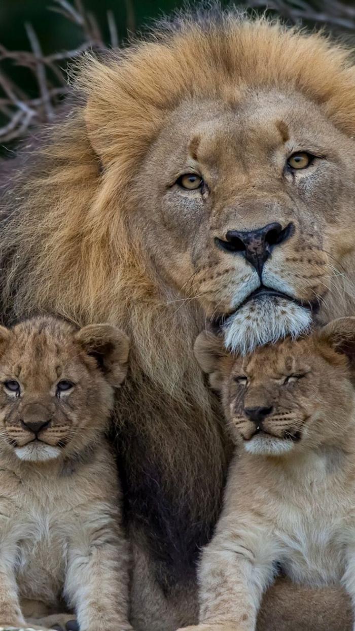 chats-sauvages-un-père-fiers-de-deux-lionceaux