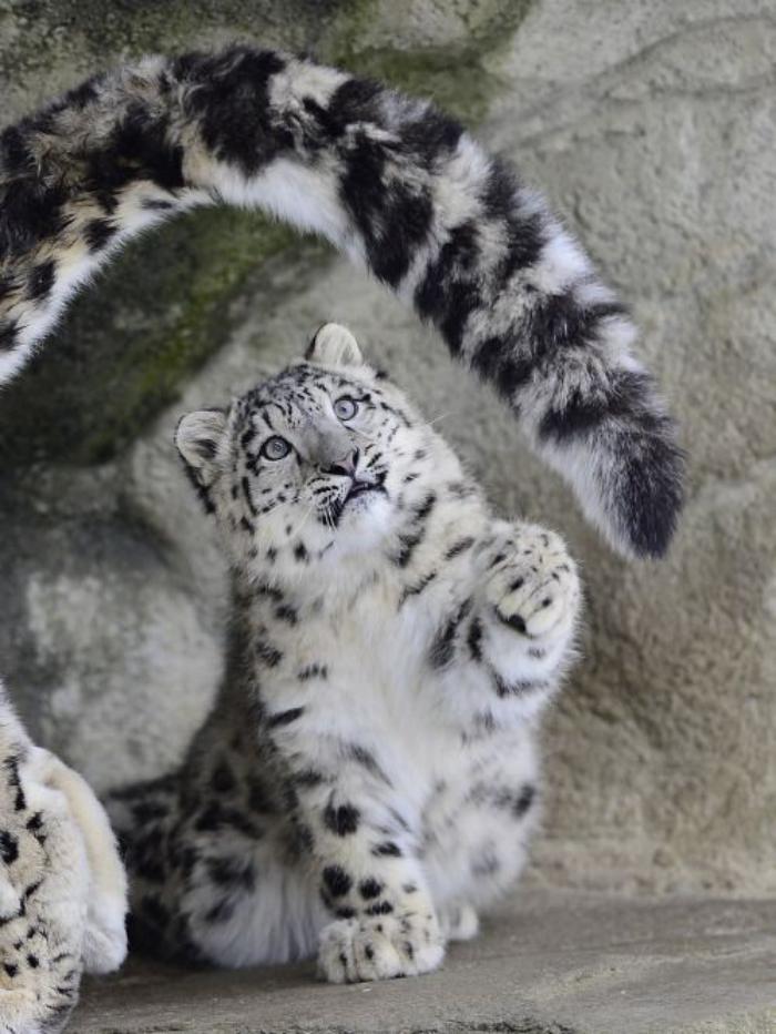 chats-sauvages-un-petit-tigre-qui-joue-avec-la-queue-de-maman