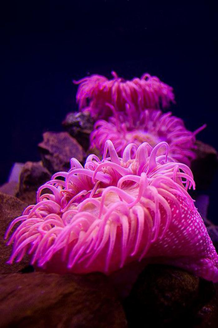 fond-marin-anémone-rose-magnifique