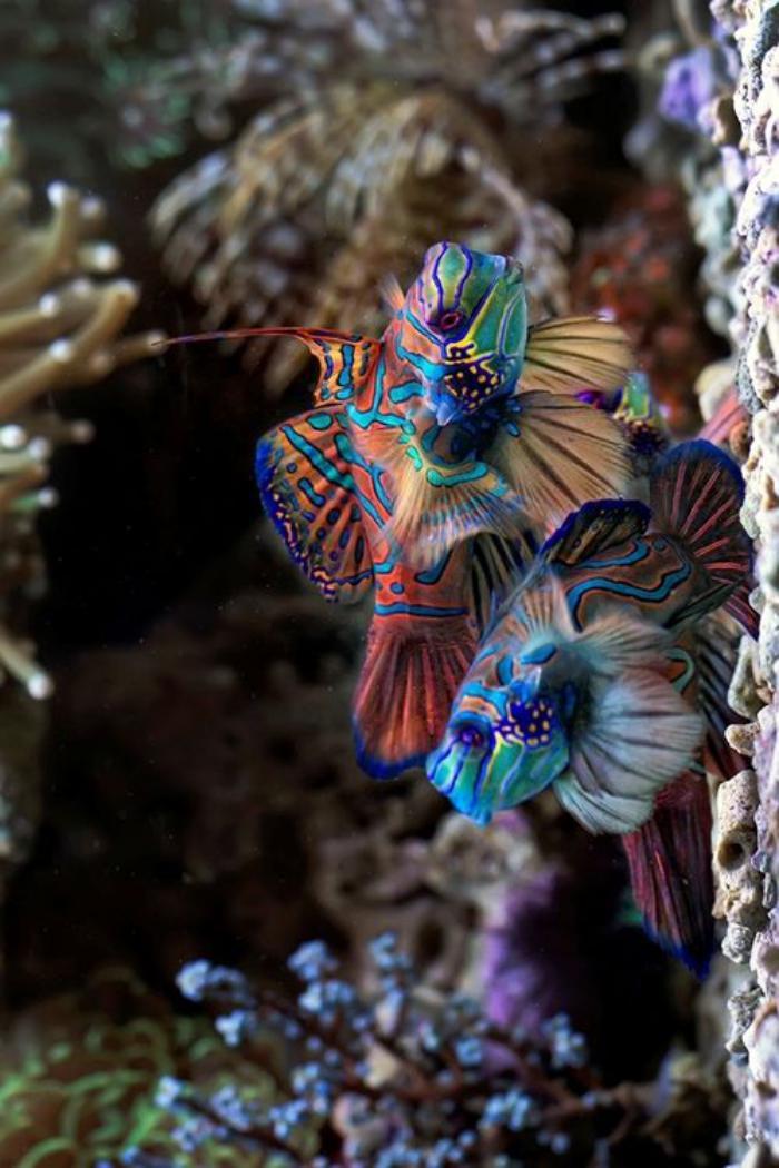 fond-marin-deux-poissons-mandarins
