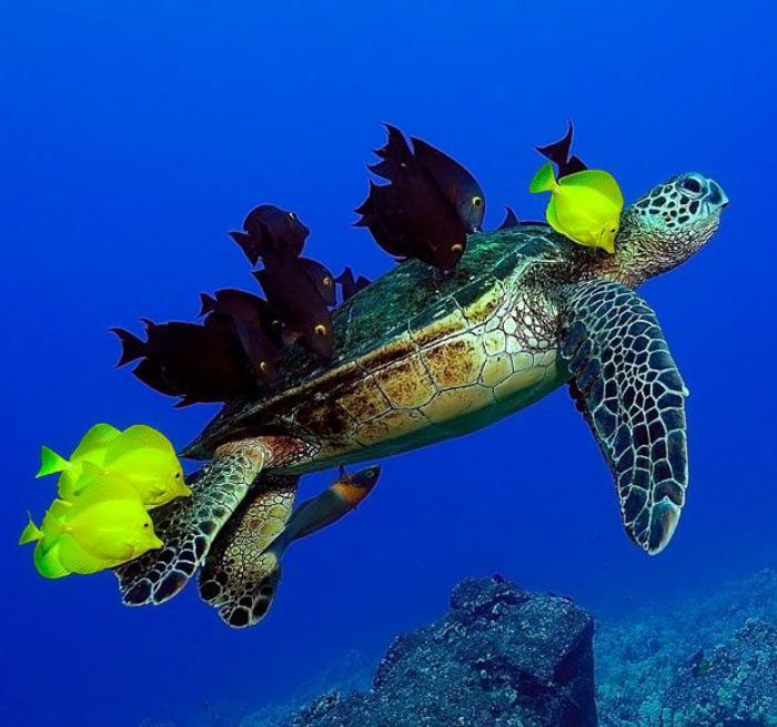 fond-marin-grande-tortue-marine-accompagnée-de-jolis-poissons