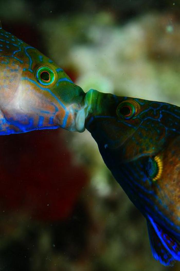 fond-marin-le-baiser-sous-marin-de-deux-poissons