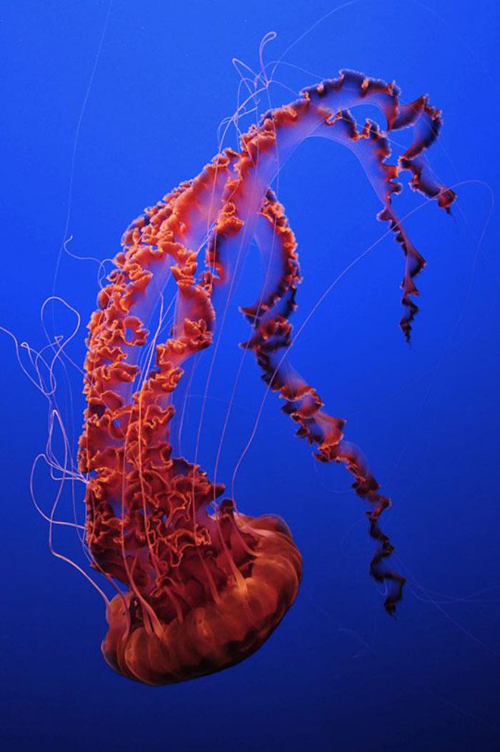 fond-marin-méduse-magnifique-rouge-la-vie-dans-la-mer