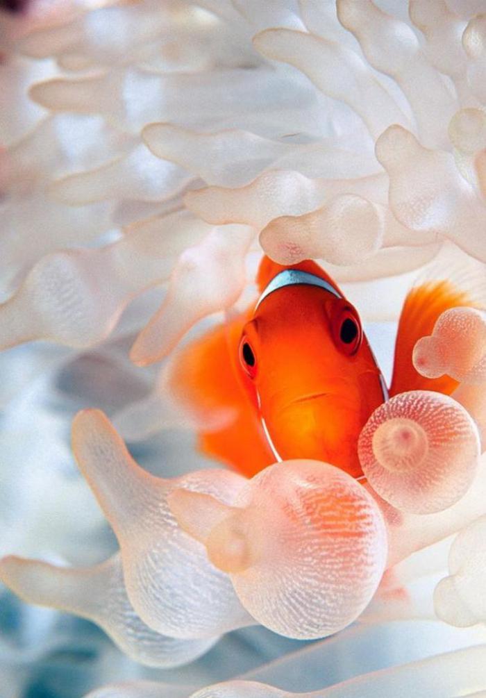 fond-marin-poisson-clown-dans-les-corails-ballons
