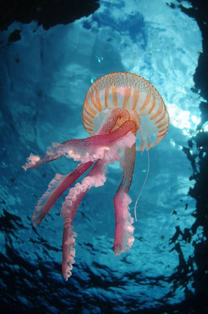 fond-marin-une-méduse-princesse-rose